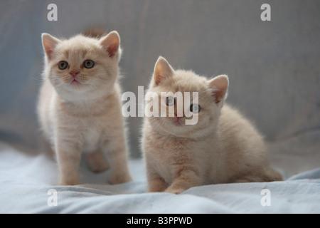 Kittens, Casrthusian (Silvestris domestic spec.) - Stock Photo