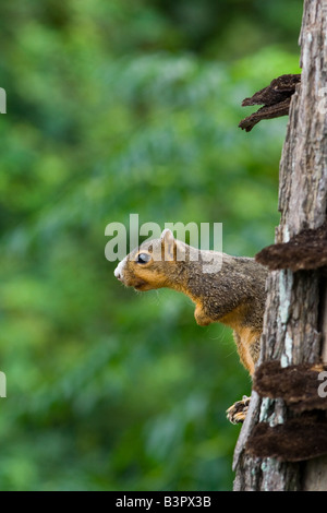 Eastern Fox Squirrel Sciurus Niger - Stock Photo