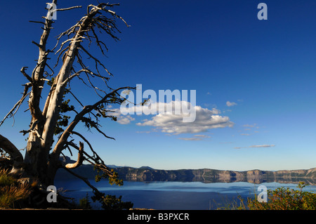 Skeleton of pine tree on the rim of the Crater Lake. The Crater Lake National Park, Oregon, USA. - Stock Photo