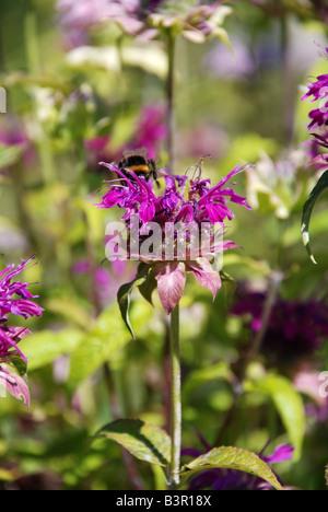 Monarda didyma bee balm - Stock Photo
