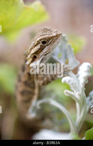 close up of young bearded dragon lizard climbing up plant - Stock Photo