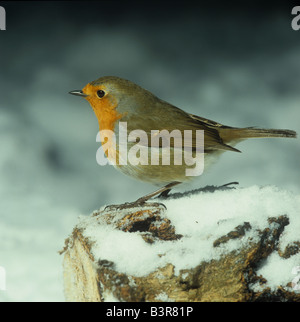 Adult robin on a snow covered log in the garden - Stock Photo