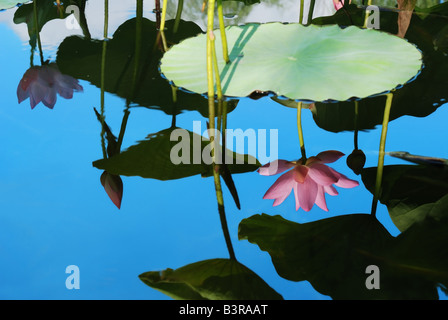 reflection of a lotus - Stock Photo
