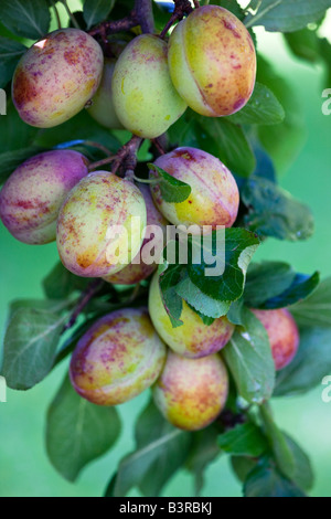 Prunus, Victoria plums ripening in an English orchard - Stock Photo