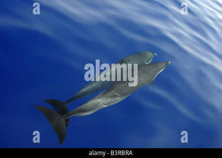 Pantropical spotted dolphin Stenella attenuata bow riding near the surface Kailua Kona Hawaii - Stock Photo