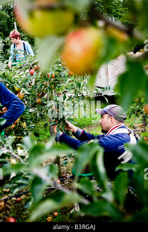 Migrant workers, who are often eastern european, Agricultural students, bring in the Apple harvest in Kent - Stock Photo