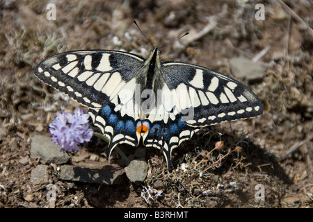Carteret, Normandy, France. A swallowtail butterfly (papilio machaon) on the cliffs by the sea - Stock Photo