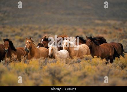 Herd of wild horses running high desert. - Stock Photo