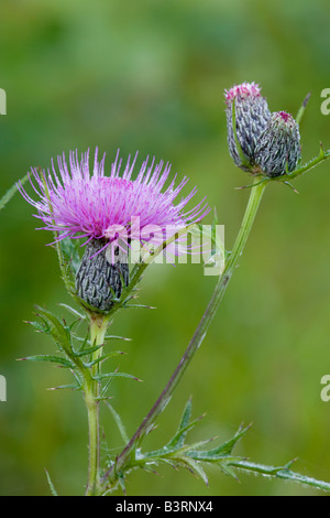 Fen thistle or swamp thistle, Cirsium muticum, Iowa - Stock Photo