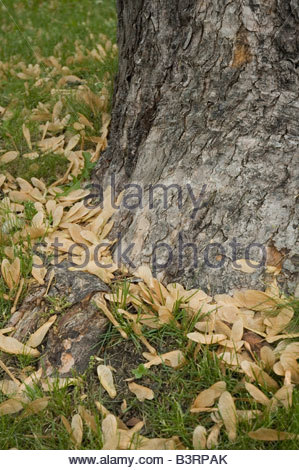 Silver Maple seeds in spring Acer saccarinum - Stock Photo