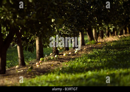 Apple orchard with apples on the ground - Stock Photo