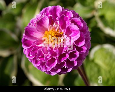 Blume, bluehende Dahlie Dahlia - Stock Photo