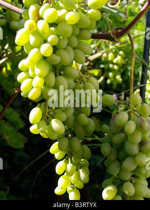 Rebstock, weisse Weintrauben, grapes