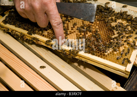 Beekeeper checking his hives for honey and on the condition of his colony of bees,  UK - Stock Photo