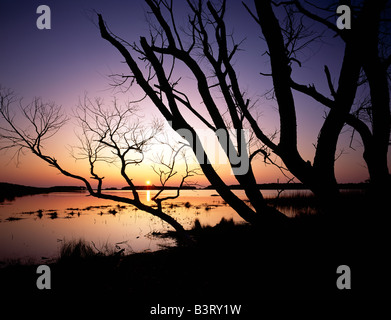 Black Willow Tree on Snow Goose Pool, Chincoteague National Wildlife Refuge, Assateague Island, Virginia, USA - Stock Photo