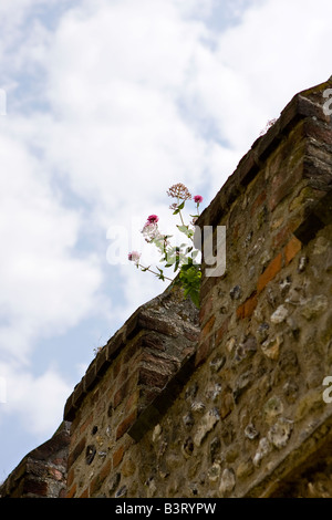Red Valerian growing out of top of old stone wall. Chichester, Sussex - Stock Photo