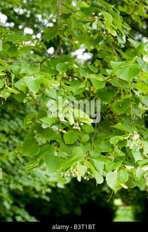 Common Lime Tilia europaea close up of branch with fruit and leaves - Stock Photo