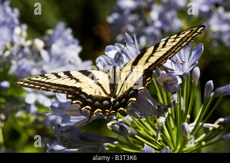 A butterfly feeding on nector in the midday sun - Stock Photo