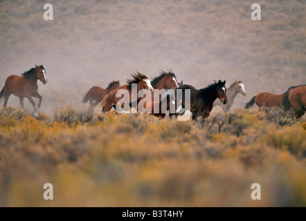 Herd of wild horses running high desert. - Stock Photo