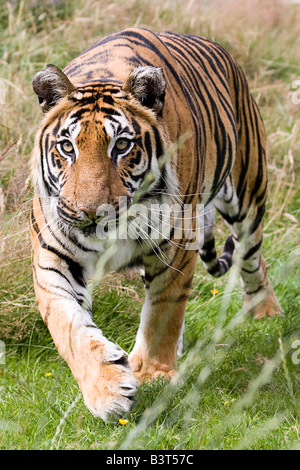 Tiger advancing towards the camera - Stock Photo