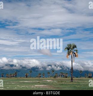 Tanzania, Northern Tanzania, Manyara. Doum palms (Hyphaene coriacea) dot the grassy plains on the east side of Lake - Stock Photo