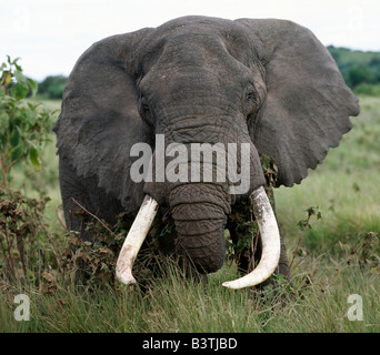 Tanzania, Northern Tanzania, A fine bull elephant feeds along the rim of the world famous Ngorongoro Crater. The - Stock Photo