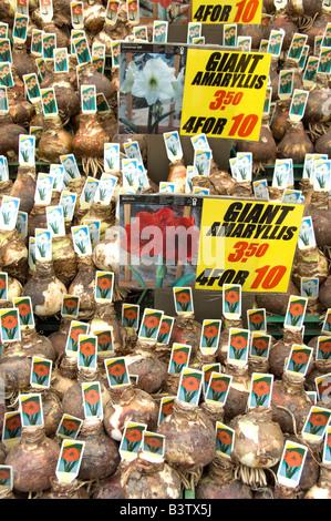 Netherlands (aka Holland), Amsterdam. Bloemenmark (aka floating flower market). Giant Amaryllis bulbs for sale. - Stock Photo