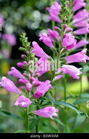 PHYSOSTEGIA VIRGINIANA VIVID OBEDIENT PLANT - Stock Photo