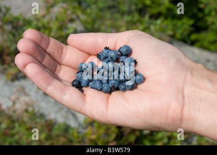 a handful of wild blueberries - Stock Photo