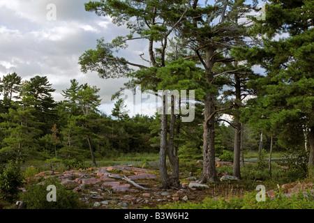 Eastern White Pine forest in Killarney Ontario Canada - Stock Photo