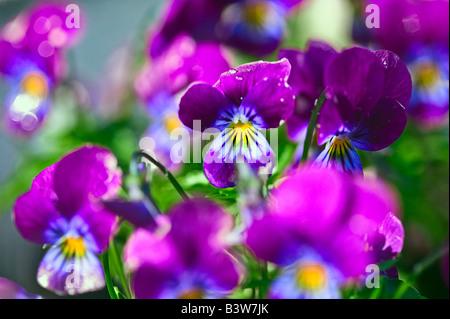 Backlit violets on blurred background close up - Stock Photo