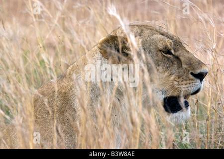 Lioness, portrait - Stock Photo