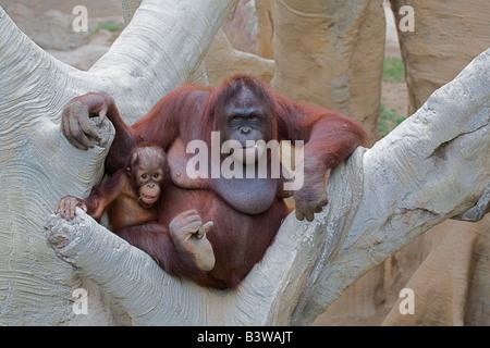 Nursing orangutan and baby portrait 2 - Stock Photo