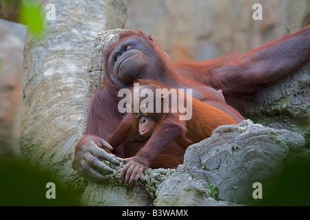 Nursing orangutan with baby - Stock Photo