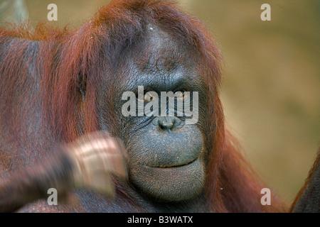 Nursing orangutan waved at by baby - Stock Photo