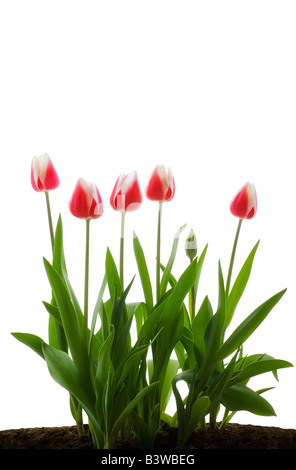 Row of pink tulips on white background - Stock Photo