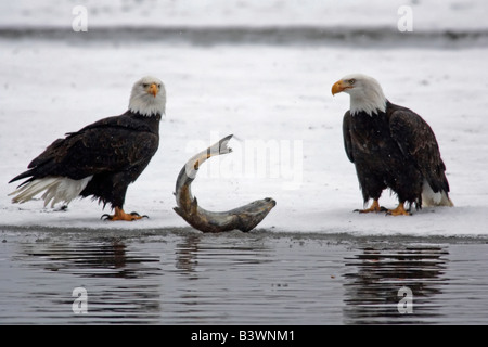 USA, Alaska, Chilkat Bald Eagle Preserve. Pair of bald eagles waiting to feed on almost dead salmon. - Stock Photo