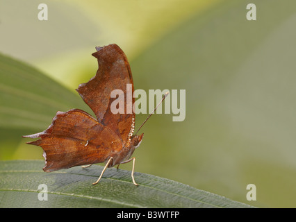 Question Mark butterfly (Polygonia interrogationis) on a leaf - Stock Photo