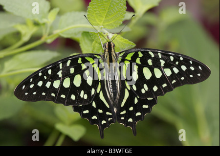 Tailed Jay butterfly (Graphium agamemnon) on a leaf - Stock Photo