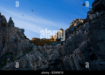 Thick-billed Murres (Uria lomvia) bird colony, Coburg Island, Nunavut, Canada - Stock Photo
