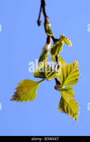 Silver birch leaves in spring - Stock Photo