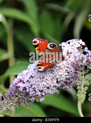 A Peacock butterfly on Buddleia flower - Stock Photo