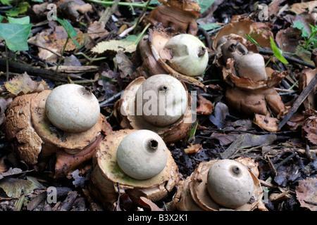 GEASTRUM TRIPLEX EARTH BALL FUNGI - Stock Photo