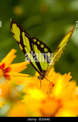 Malachite butterfly on flower - Stock Photo