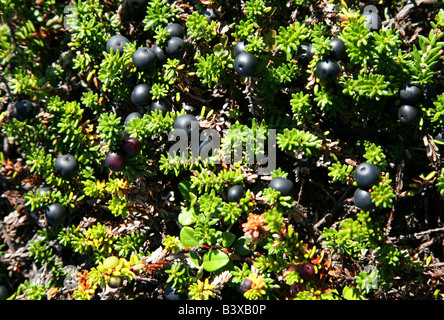 Crowberry on the Solovetsky Islands in the White Sea, Russia - Stock Photo