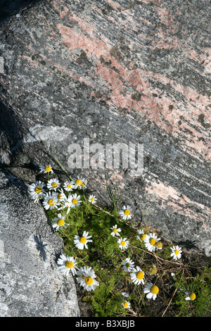 Camomile flowers on the Muksalma Boulder Dam on the Solovetsky Islands in the White Sea, Russia - Stock Photo