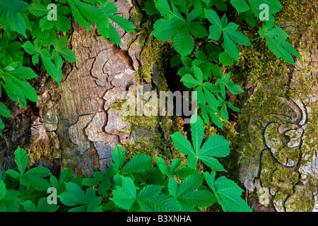 Trunk and leaves of Horse Chestnut tree Olympic National Park Washington - Stock Photo
