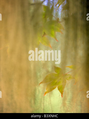 Vine maple leaves as seen through spanish moss Olympic National Park Washington - Stock Photo