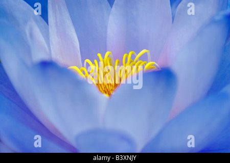 Blue Gigantea Waterlily Nymphaea gigantea Hughes Water Gardens Oregon - Stock Photo