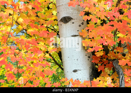 Rocky Mountain Maple tree with aspen trunk in fall color Targhee National Forest Idaho - Stock Photo